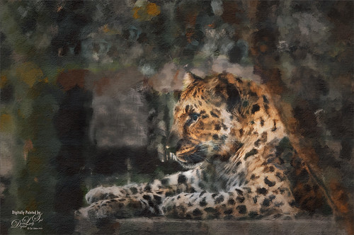 Image of an Amur Leopard at the Jacksonville Zoo