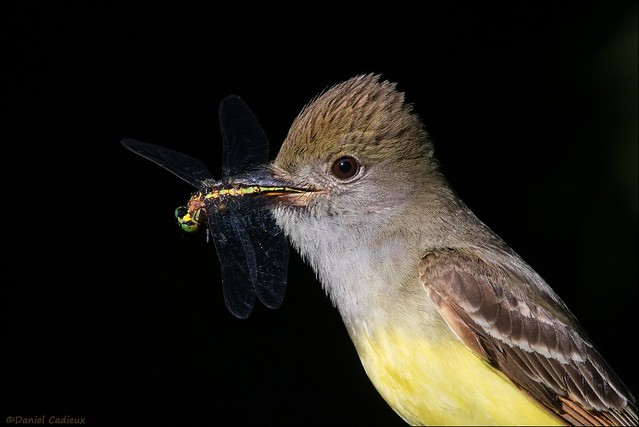 Great-crested Flycatcher's Catch