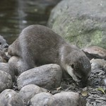 Small-clawed Asian otter
