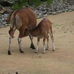 Banteng, with calf