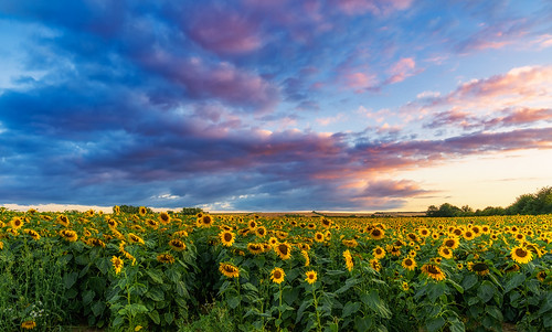 cotswolds oxfordshire sunflowers sunset flowers light landscape sony a7iii sony2470mmf28gm jactoll