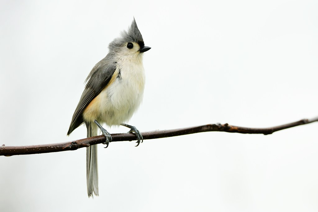 Tufted Titmouse by Jackie B. Elmore 4-23-2020 Lincoln Co. KY