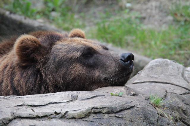 Ein müder Bär in seinem Wasserpfuhl