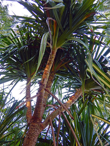looking up at a Screw Pine (Pandanus) with its scraggly leaves in Huatulco, Mexico