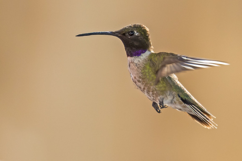 Black-chinned-Hummer-11-7D2-073120