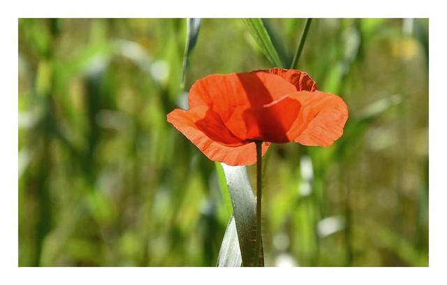 wild poppy 2