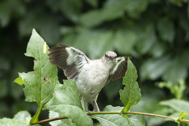Flashing Mockingbird