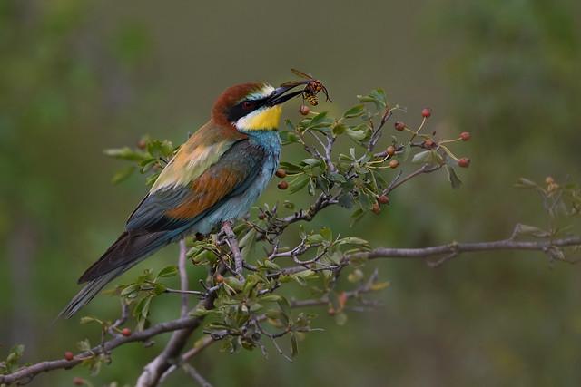 Bienenfresser - European Bee-eater