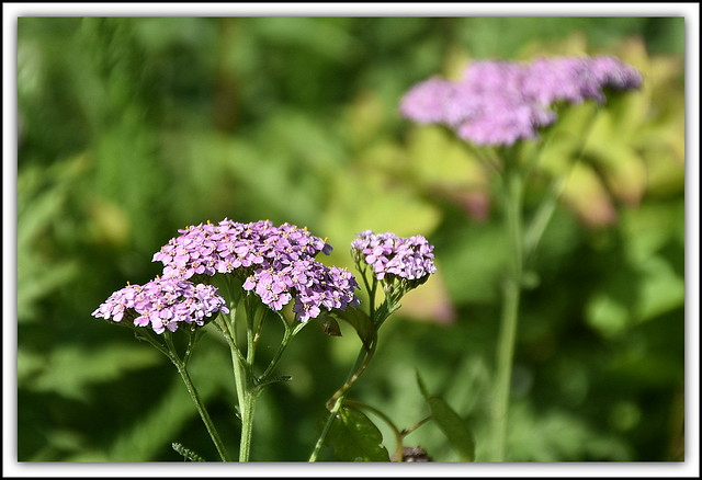 Flower Of The Day - Verbena