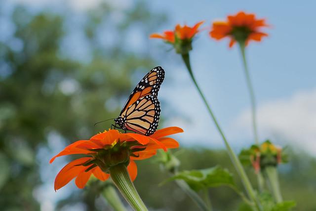 DSF_0834_1  Monarch Butterfly
