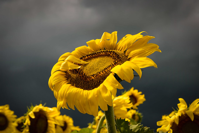 Sunflower and the Cloudy Day - 3468
