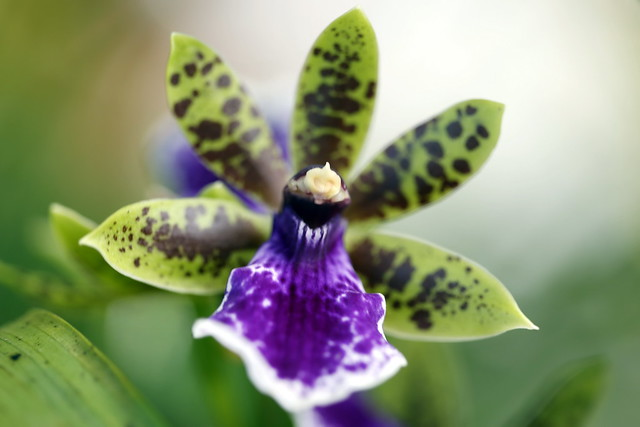 Orchidée Zygopetalum du jardin