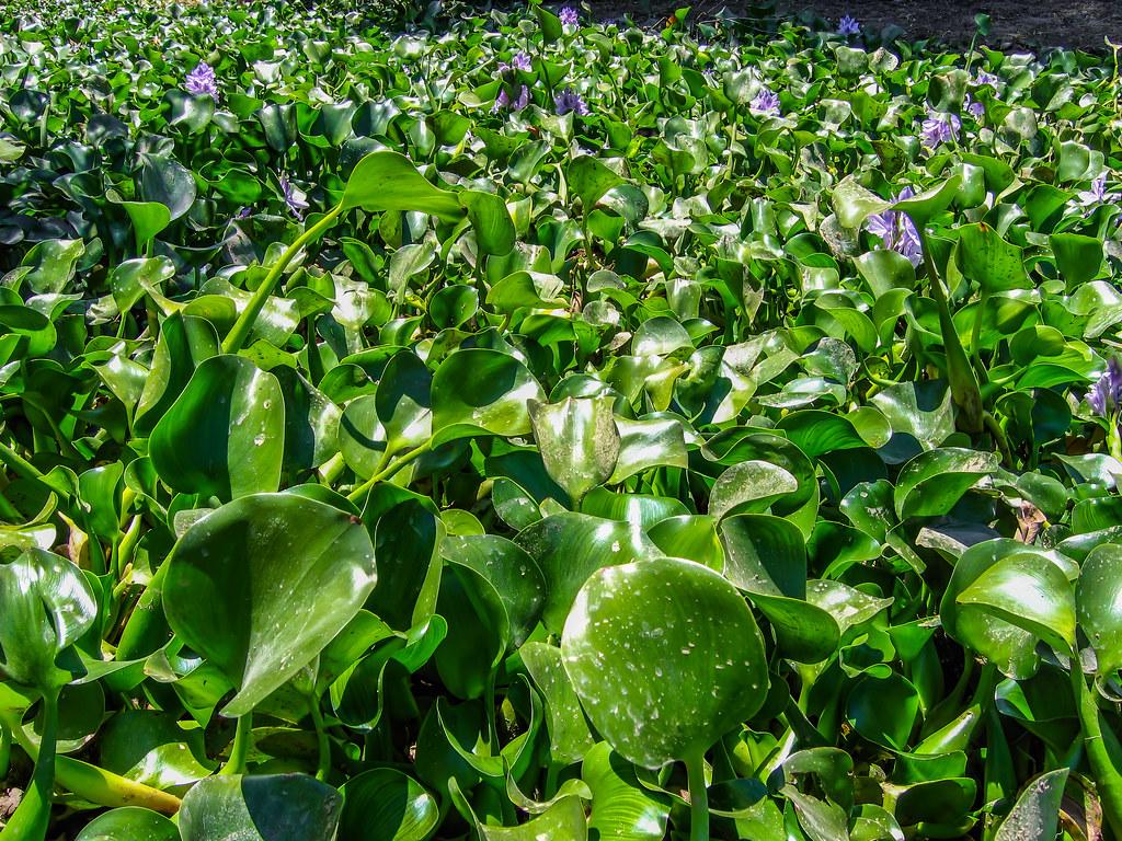 Water Hyacinth 2005 06 26 02