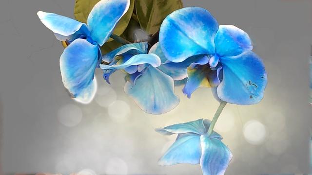 Bokeh Blue Orchids