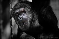 chimp portait