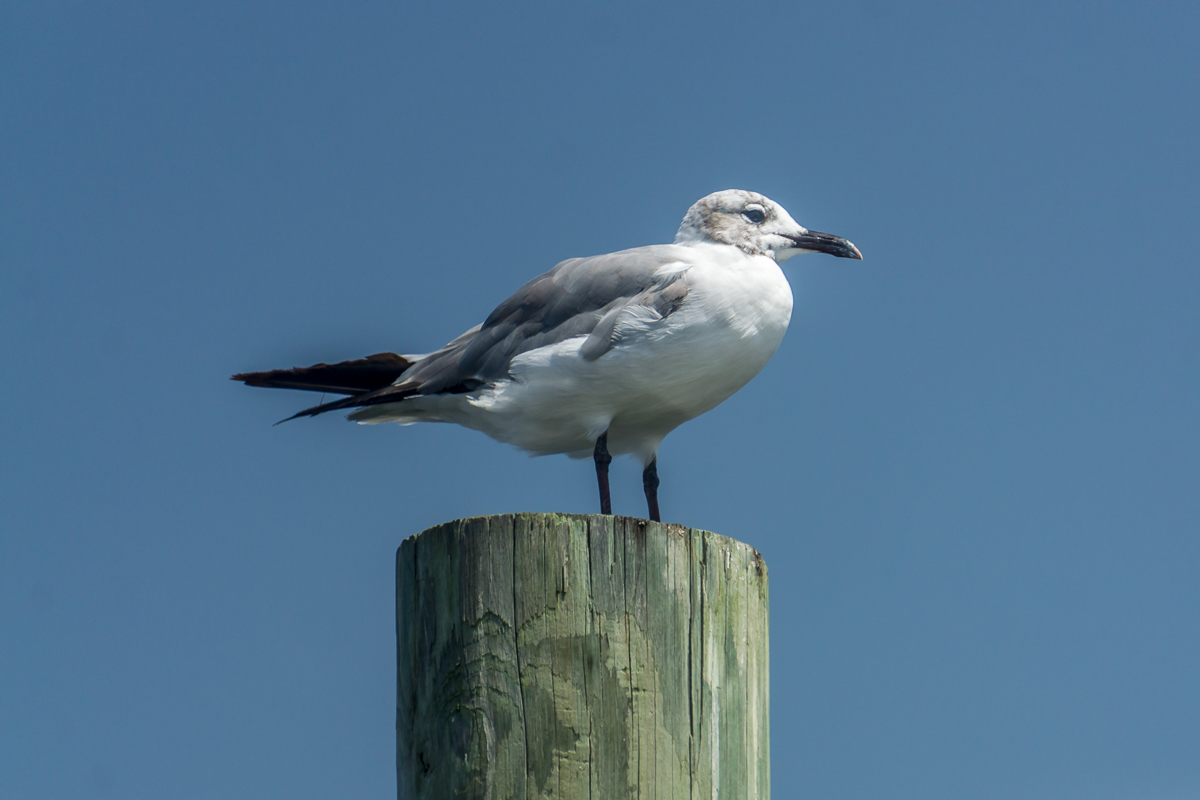 Local seagull