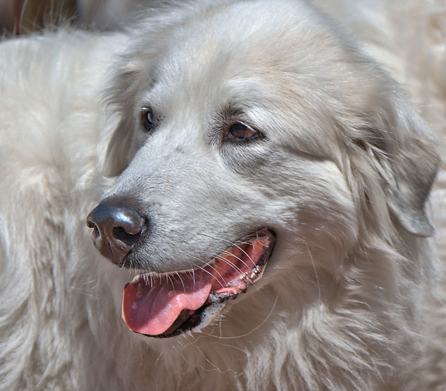 Cute Face Of The Great Pyrenees