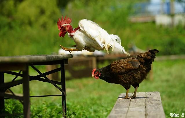 Poultry athletics