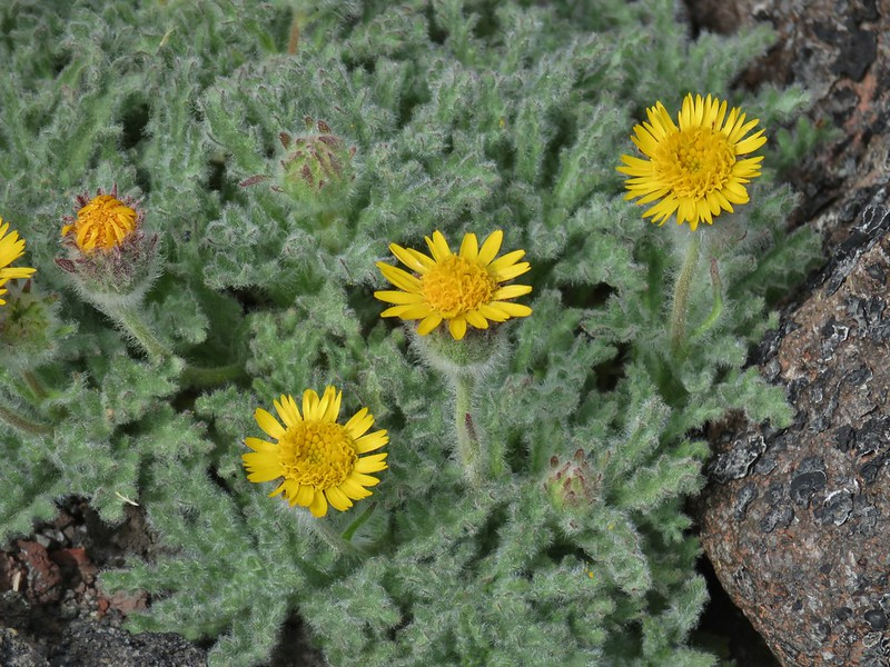 Dwarf alpinegold