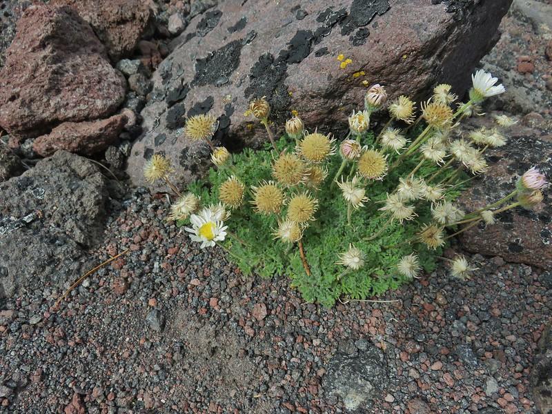 Cutleaf daisy