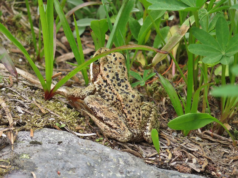 Frog along the Highline Trail
