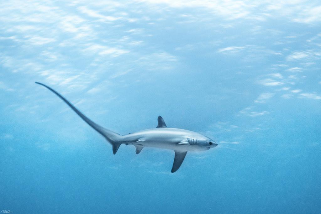 Thresher Shark - Alopias vulpinus