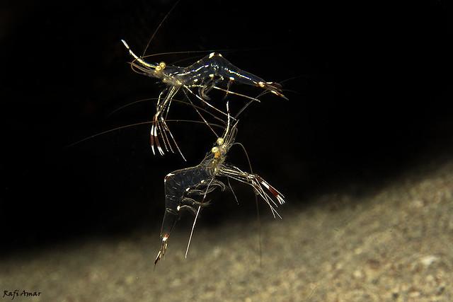 Cave Cleaner Shrimp - Urocaridella pulchella