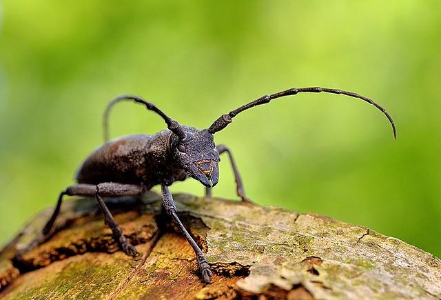 Italy, Longhorn beetle
