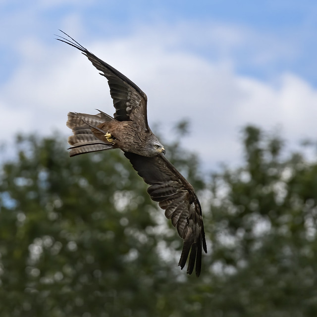 Black Kite 3