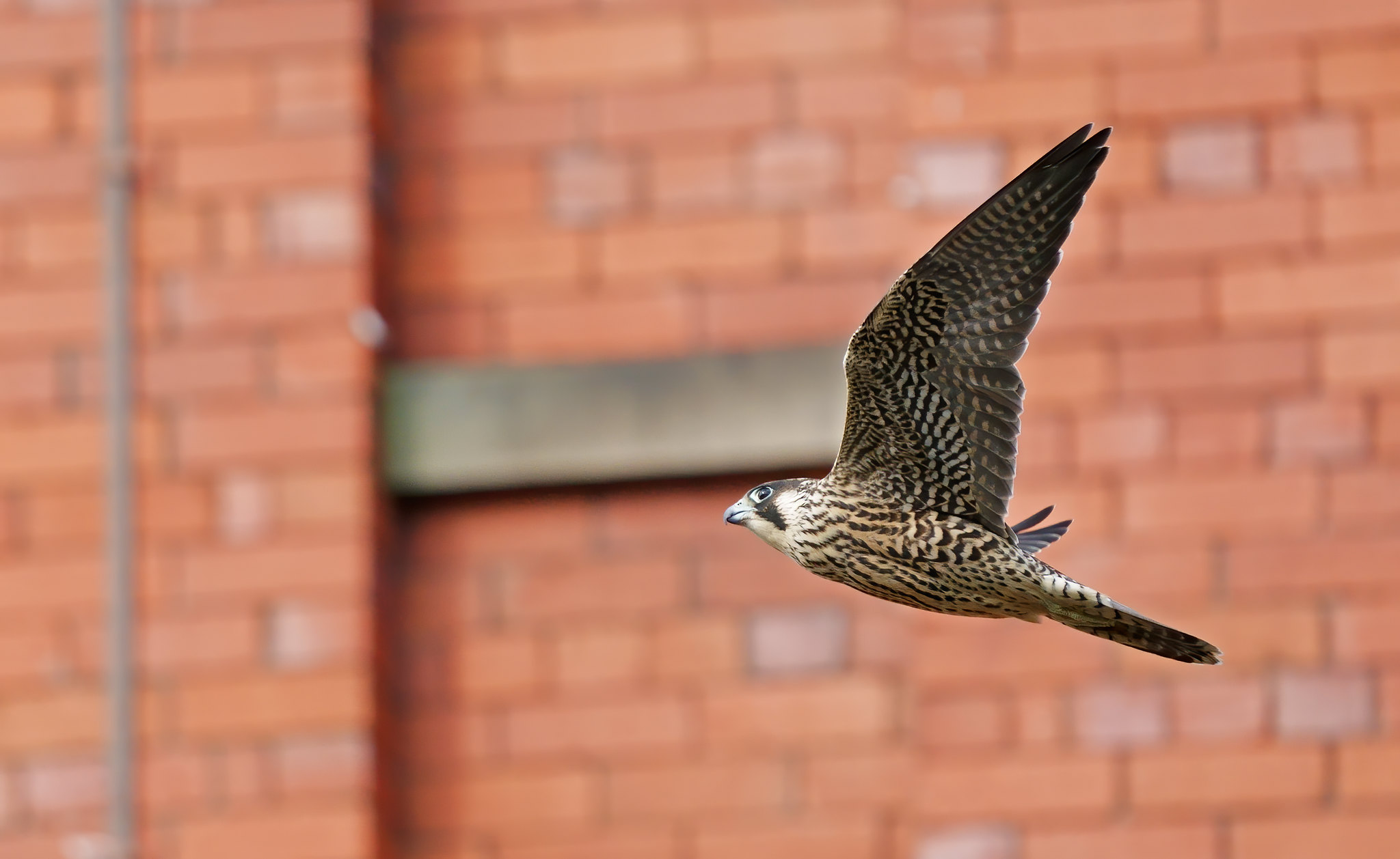 Peregrine Falcon - still not keen on the brickwork background.