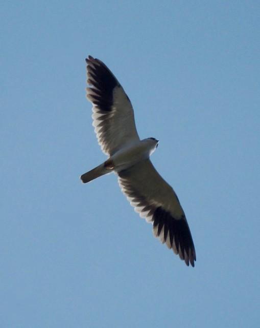 Black-winged Kite, Elanus caeruleus, Чернокрылый дымчатый коршун