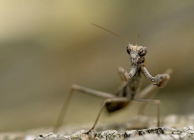 Italy, Mediterranean ground mantis