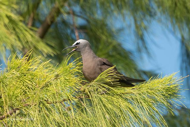 Brown Noddy Tern panting 501_8618.jpg