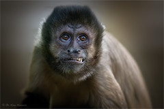 tufted capuchin portrait