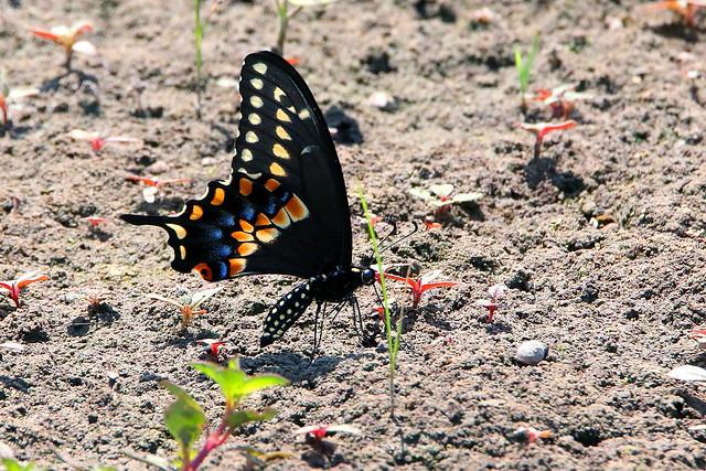 Farmer Swallowtail
