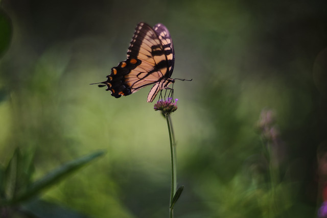 Verbena bonariensis with Swallowtail Butterfly, 2