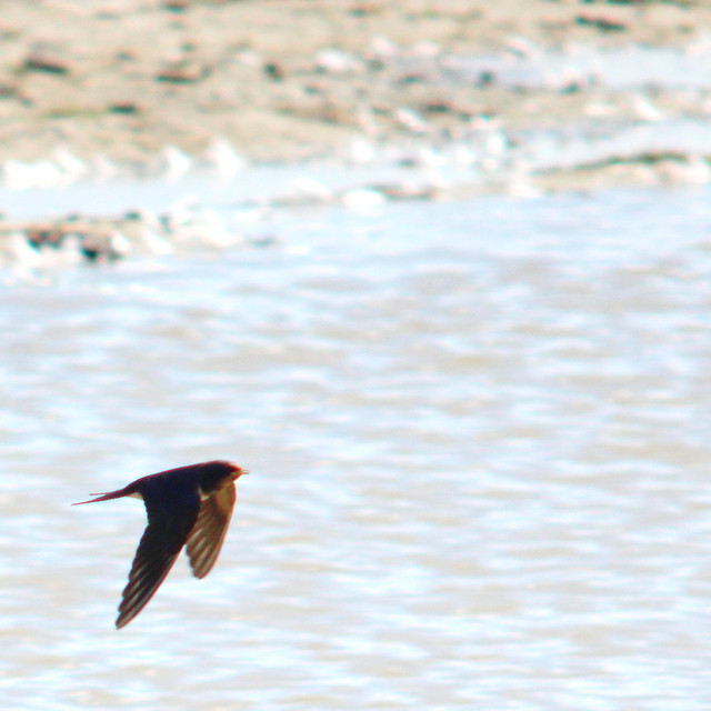 Hunting for insects - Barn swallow, Hirundo rustica, Ladusvala
