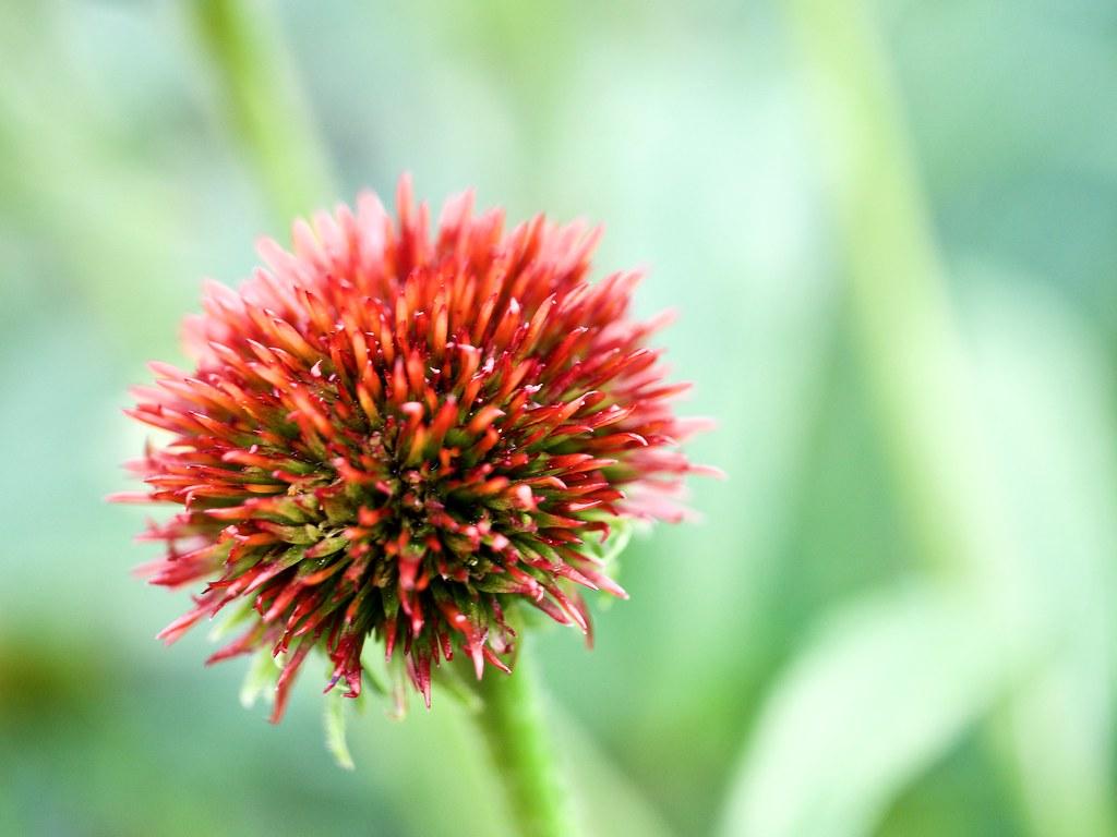 Undeveloped Echinacea (cone flower)