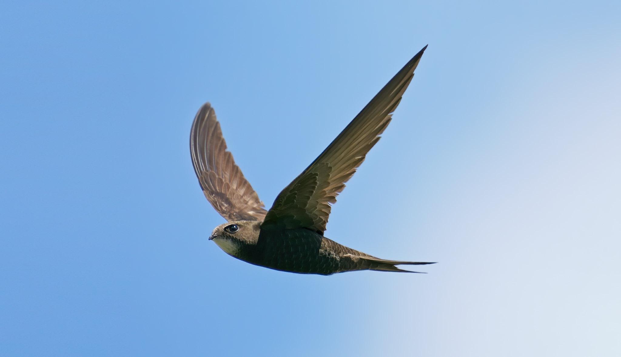 Common Swift - needed more speed to freeze. :-(