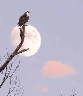 Osprey in Moon