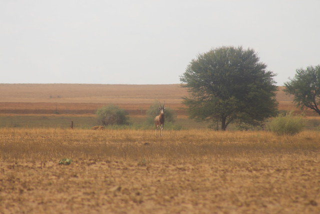 Blesbok in the distance