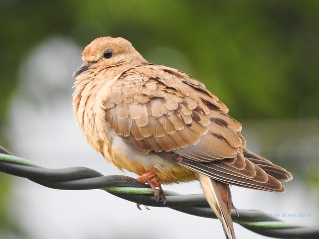 Wild Dove