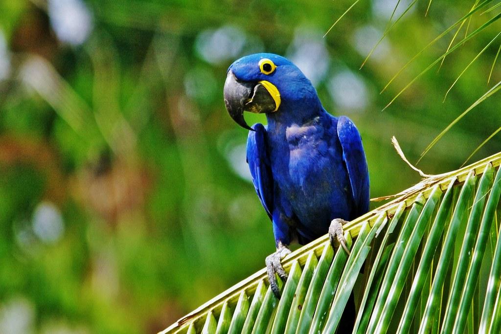 Hyacinth Macaw Sitting On A Palm Leaf  (Anodorhynchus hyacinthinus)