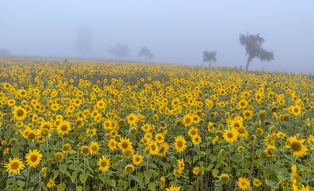 *sunflowers in the morning mist*