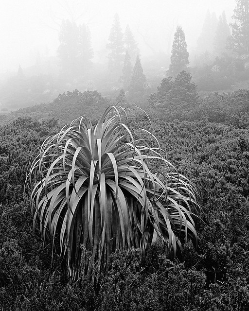 RICHEA AND PENCIL PINE IN MIST