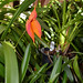 "<p><a href=""https://www.flickr.com/people/nolehace_photography/"">nolehace</a> posted a photo:</p>  <p><a href=""https://www.flickr.com/photos/nolehace_photography/50184411288/"" title=""Masdevallia veitchiana &#039;Sol&#039; 1-2 species orchid 6-20""><img src=""https://live.staticflickr.com/65535/50184411288_0af7a95a4f_m.jpg"" width=""164"" height=""240"" alt=""Masdevallia veitchiana &#039;Sol&#039; 1-2 species orchid 6-20"" /></a></p>"