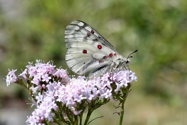 Parnassius bremeri amgunensis (Papilionidae)