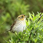 saltmarsh sparrow on a branch