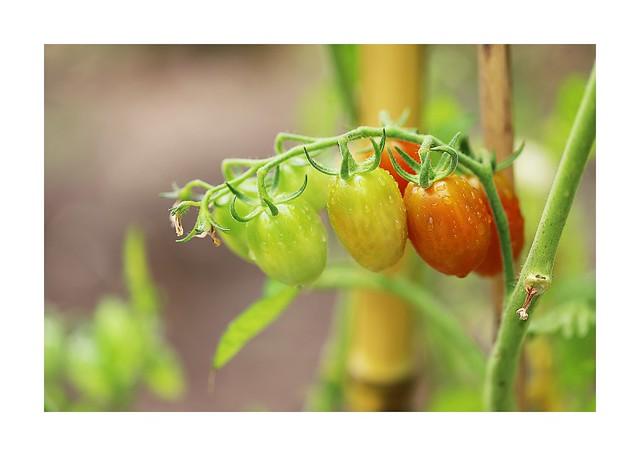 Un peu de pluie pour mes tomates cerises
