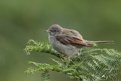Whitethroat juvenile (HH)